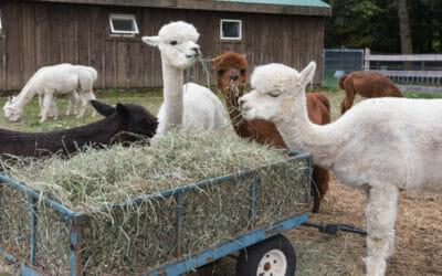 Visit an Alpaca Farm in Pennsylvania: Pohopoco Creek Alpacas