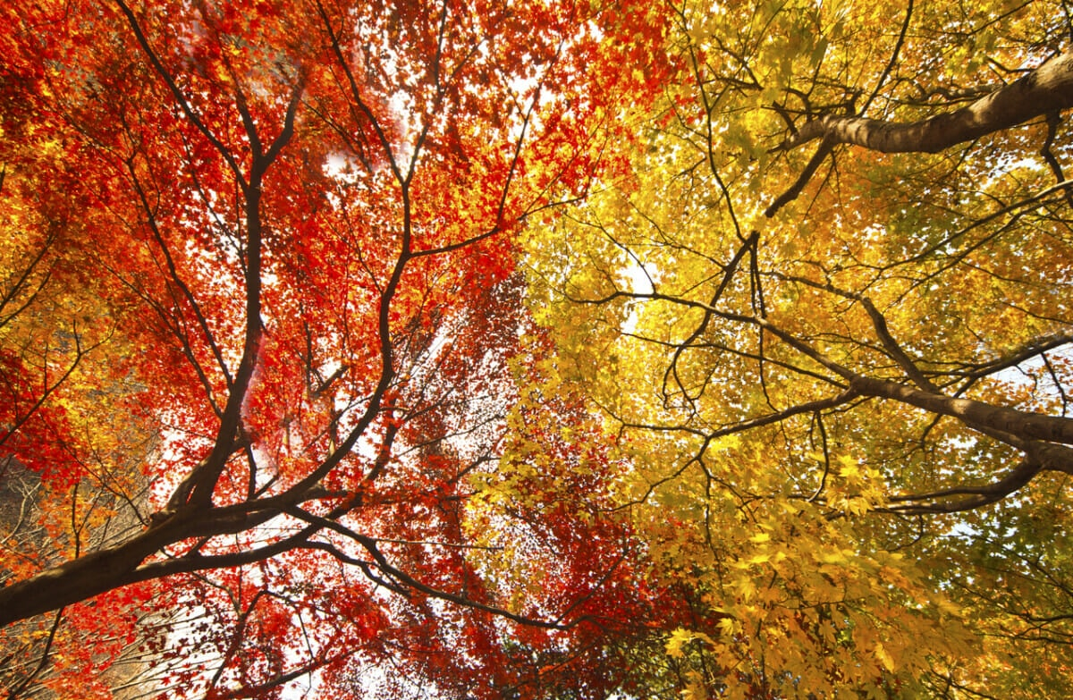 Maple trees in Vermont in the fall