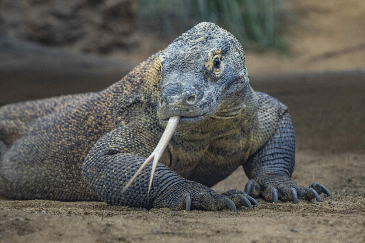 Komodo dragon at San Diego Zoo